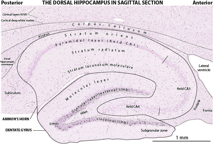 labeled hippocampus
