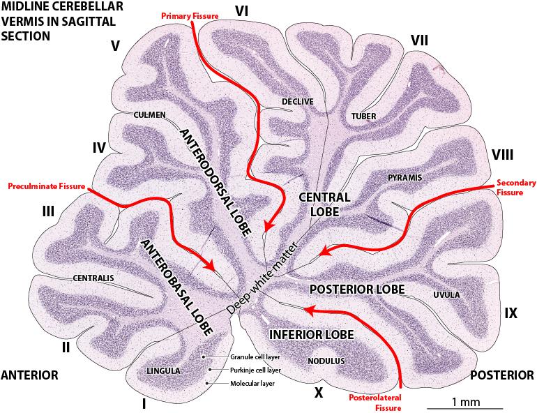 labeled cerebellum